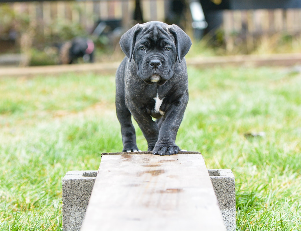 An Avitus Cane Corso puppy walking across a balance beam